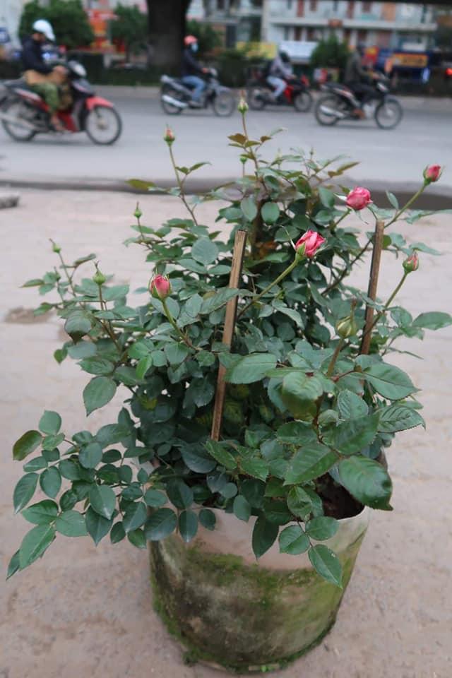Hoa hồng Lafont