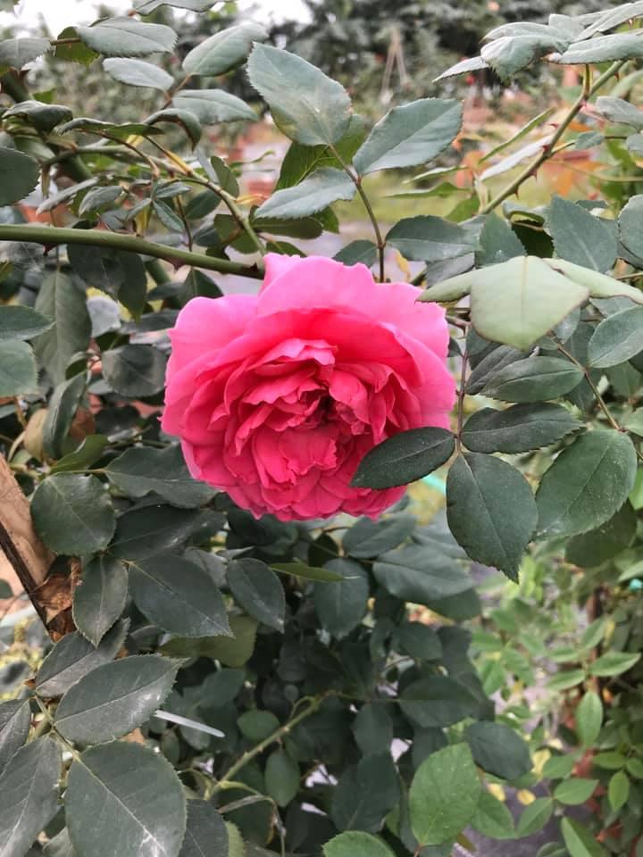 Hoa hồng leo Parade
