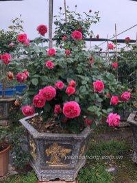 Lafont rose