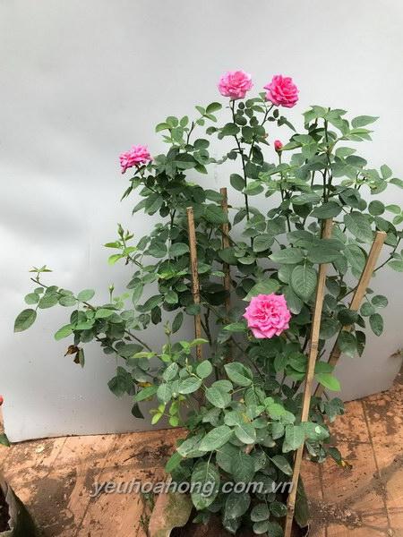 Hoa hồng ngoại Pink peace