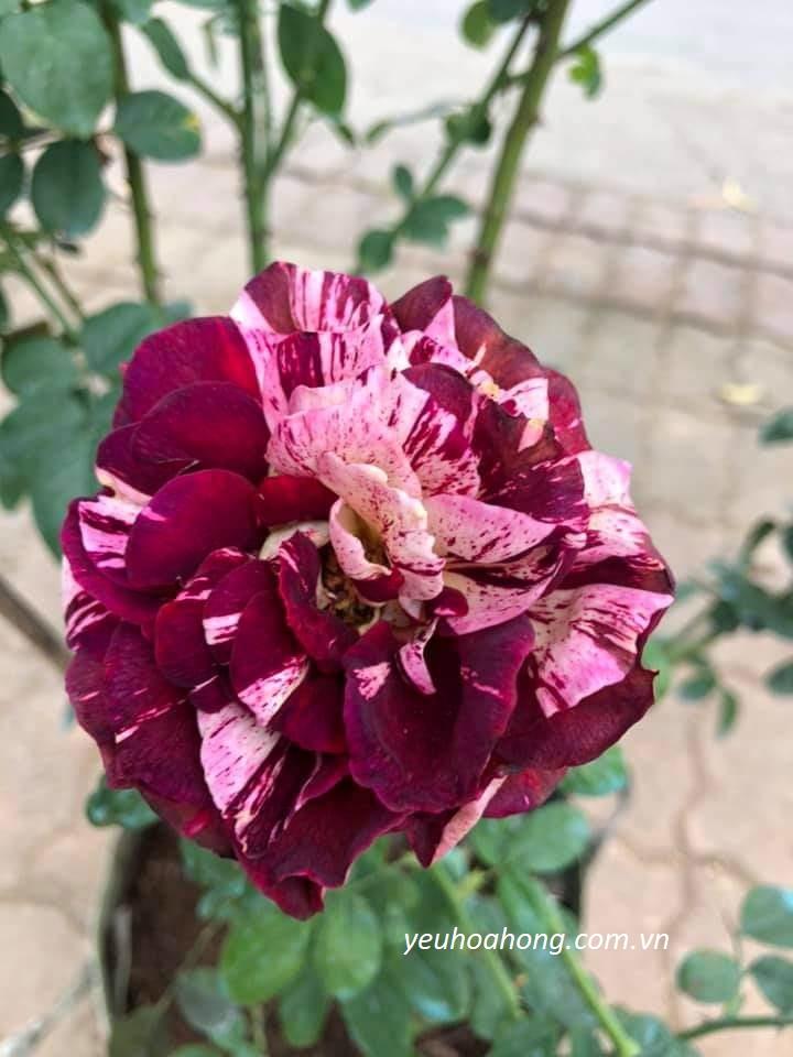 Maurice Utrillo rose