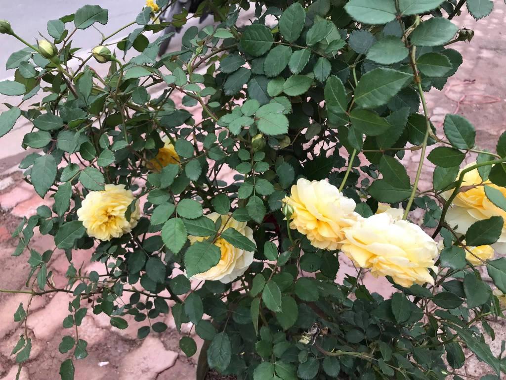 hoa hồng Poet's Wife