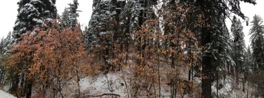 Dogwoods_Yosemite_DeGrazio