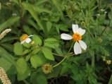 鬼針草(咸豐草)花
