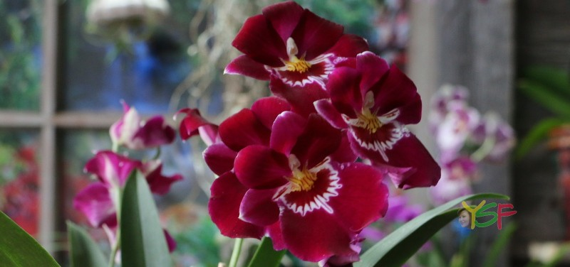 Miltonia Bert Fields 'Leash'
