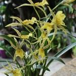Brassidium Nittany Gold
