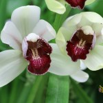 Cymbidium Hybrid (Burgundy and White)