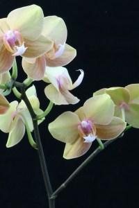 Doritaenopsis Jiuhbao Queen Diamond