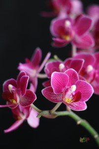 Mini Phaleanopsis Hybrid (White border on pink)