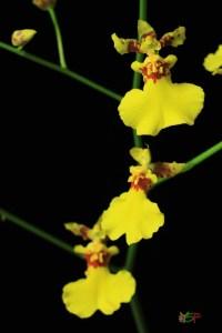 Oncidium ALoha Iwanaga