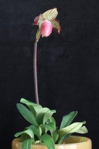Paphiopedilum Gloria Naugle
