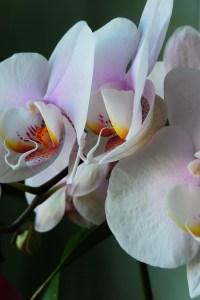 Phalaenopsis Hybrid (Pink)