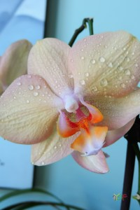 Phalaenopsis Hybrid (Small purple spots on yellow)