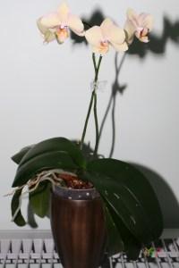 Phalaenopsis Hybrid (Small purple spots on yellow)