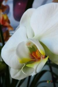 Phalaenopsis Hybrid (White)