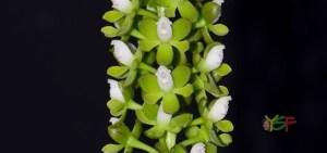 Epidendrum Mancum 'Orquifollajes'
