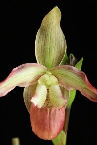 Phragmipedium Calurum