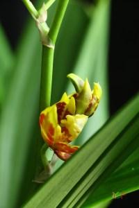 Oncidium Sphacelatum