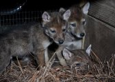 coyote pups in the center