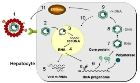 SỰ PHÁT TRIỂN CỦA VIRUS VIÊM GAN B TRONG TẾ BÀO GAN sao chep HBV 300x179