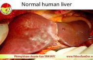 Vị trí của gan trong cơ thể con người