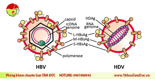 cau truc virus viem gan D va cau truc virus viem gan B