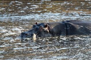 池に浸かるカバ