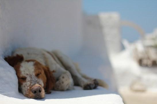 Oia Dog