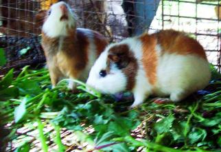 The guinea pigs I met along the way ...