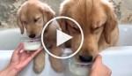 VIDEO: Golden Retriever Duo Taste Test Chicken from Bathtub