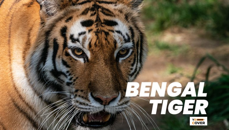 Facts about the Bengal Tiger