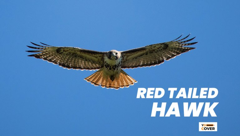 Facts about Red-Tailed Hawk