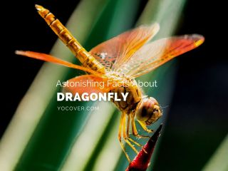 Facts About Dragonflies