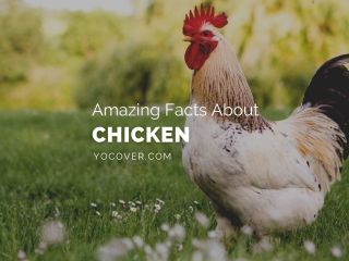 facts about chicken