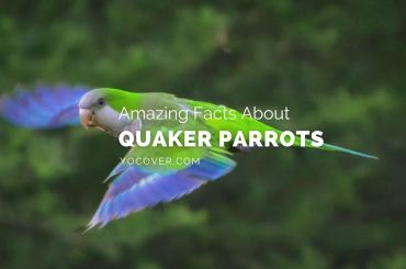 facts about quaker parrots