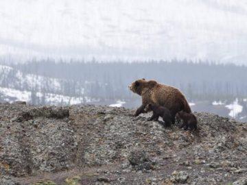 bear saves babies