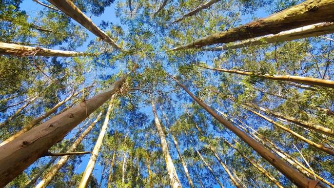 eucalyptus-treesEkaterinvor