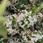 Le Buisson ardent Pyracantha coccinea