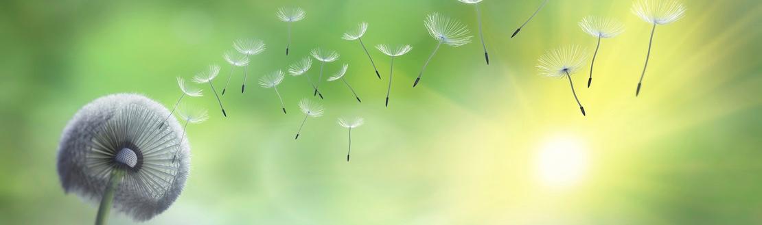 Pusteblume im Garten mit Sonnenstrahlen
