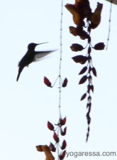 Lake-Atitlan-hummingbird