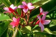 Pink Plumeria, HIRC