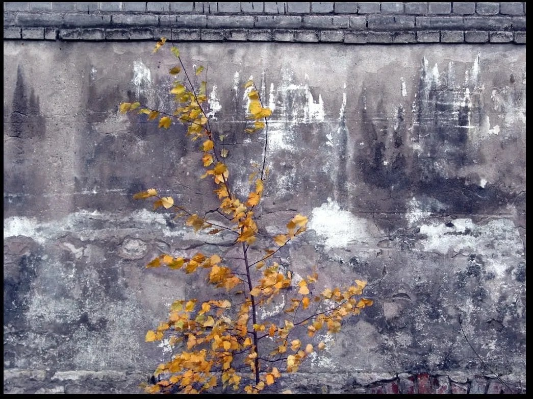 tree with yellow leaves against a grey wall
