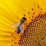 sun-flower-1643794_1920-e1557503271509.jpg