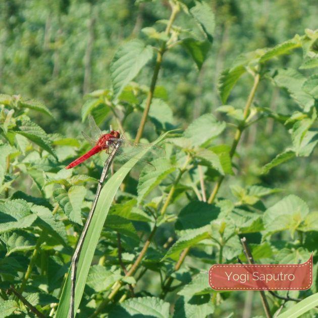 Capung merah hinggap di ujung dahan. Keragaman hayati yang dirindukan.