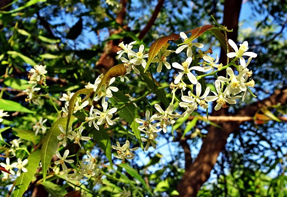 flower 2205653 1920 - Incredible Neem - Ancient healing plant for modern use