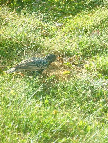 starling eating caterpillar
