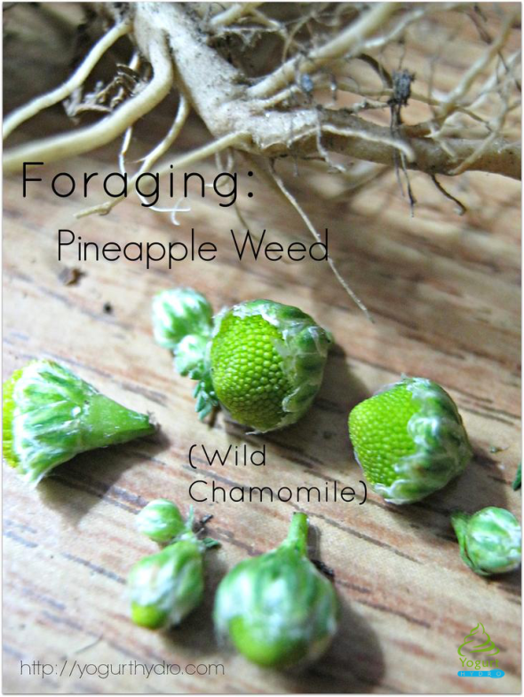 Foraging Pineapple Weed
