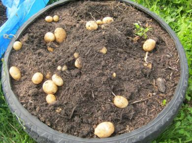 garden potatoes 1