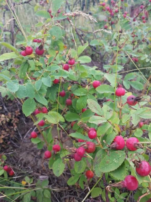 foraging rose hips