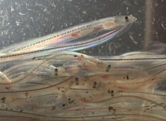 glass_eels